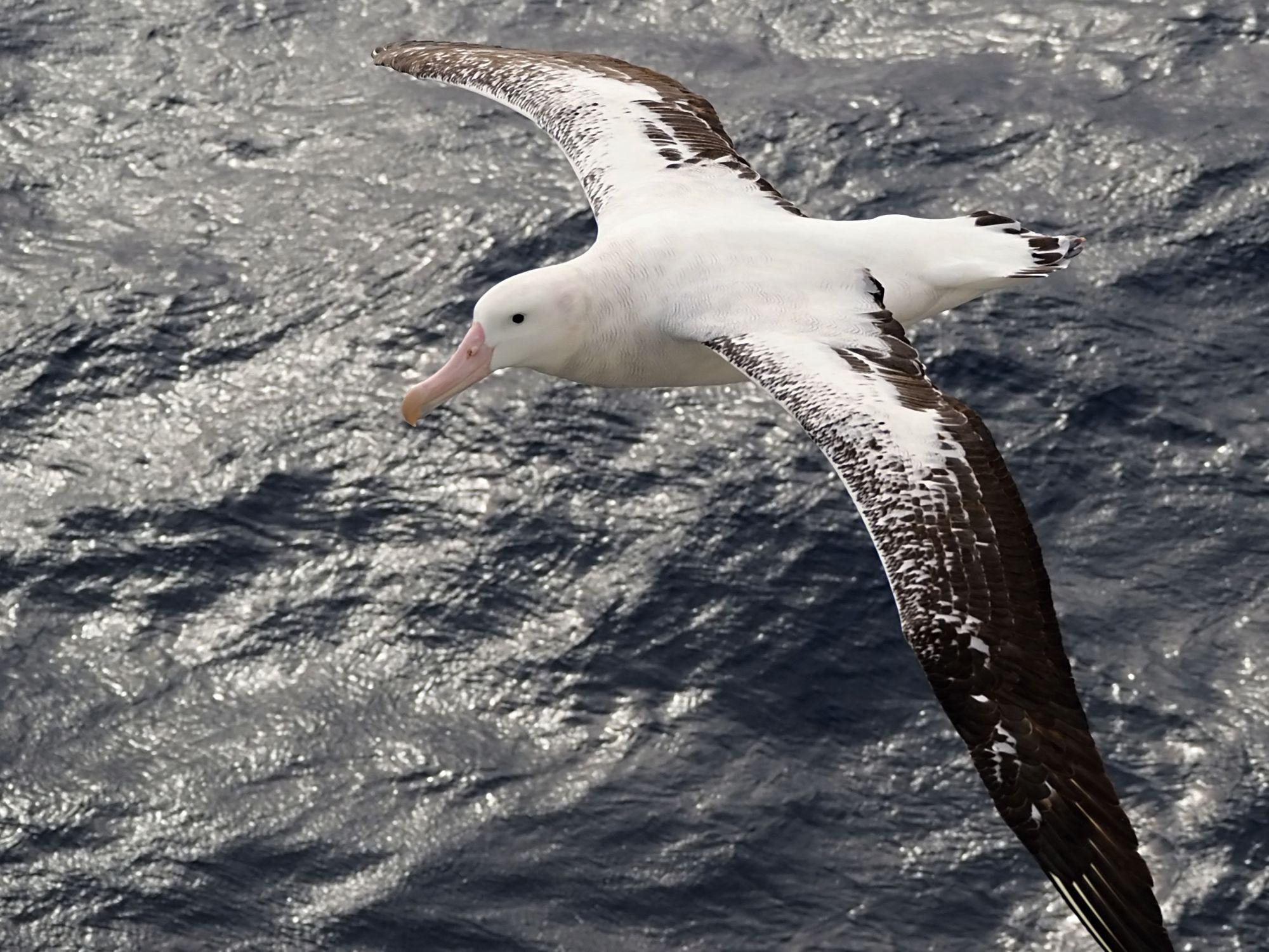 Albatross coming in for a look